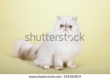 Silver Chinchilla Persian cat on yellow green background
