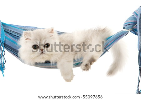 Silver Chinchilla Persian kitten in blue sling on white background