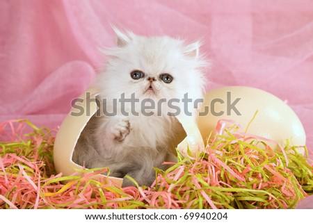 Silver Chinchilla Persian kitten inside cracked ostrich easter egg