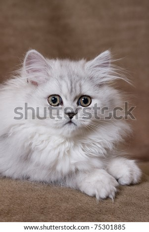 Silver chinchilla persian kitten on brown background - stock photo