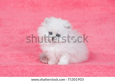 Silver chinchilla persian kitten on pink background - stock photo