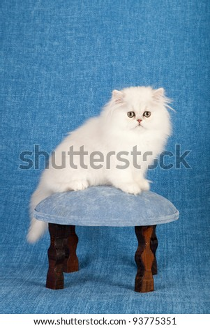 Silver Chinchilla Persian kitten with blue fabric flowers on miniature blue stool chair on blue background