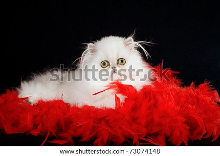 Silver Chinchilla Persian kitten with red feather boa