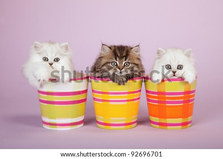 Silver Chinchilla Persian kittens in colorful pots on lavender background