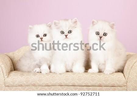 Silver Chinchilla Persian kittens on cream sofa on lavender background