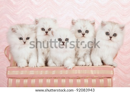 Silver chinchilla persian kittens on pink couch sofa on pink background