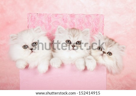 Silver Chinchilla Persian kittens sitting in pink gift box on pink background