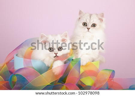 Silver Chinchilla Persian kittens sitting inside containers with tie dye ribbons on lilac background