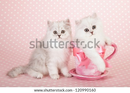 Silver Chinchilla Persian kittens sitting inside pink cup saucer with pink bow ribbon on pink background