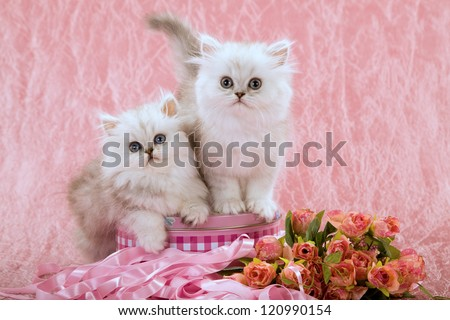 Silver Chinchilla Persian kittens with faux fake flowers on pink background