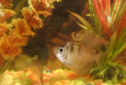 Silver dollar ornamental fish is a type of freshwater fish that looks like a piranha fish