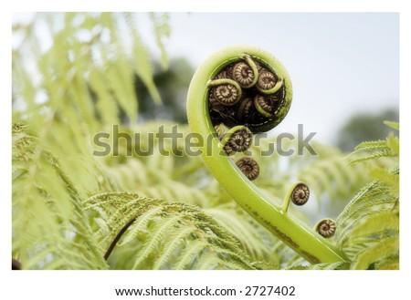 Silver fern1