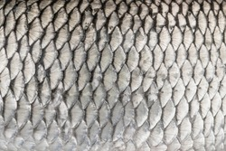 Silver fish scales. Skin texture of chub. Fishing camouflage pattern