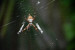 Silver garden spider on web macro with small spider and an insect caught in the web. Argiope argentata with bee caught in the web. Arachnid closeup image on the web with soft focus background.