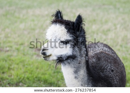 Silver gray alpaca on country ranch, field background