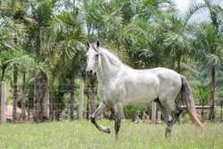 Silver gray horse. Beautiful example of a horse of the Mangalarga Marchador breed. Stallion horse loose in the field.
