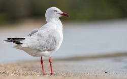 Silver Gull - Sea Gull standing on the beach