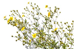 Silver-leaf cinquefoil shrub with bright yellow small flowers, close-up, isolated on a white background. Raster clipart of medicinal meadow grass. Herbal medicine