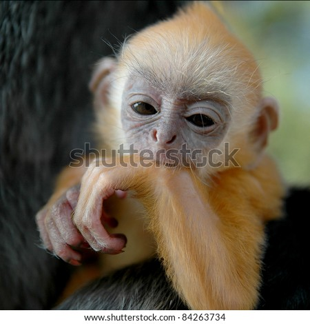 Silver Leaf Monkey Baby - stock photo