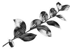 Silver leaves branch white background isolated closeup, decorative monochrome tree sprig, gray metal shiny plant leaf, grey metallic foliage illustration, floral design element, botanical symbol, sign
