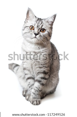 Silver scottish kitten on the white background
