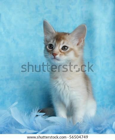 silver sorrel somali kitten amongst blue feathers