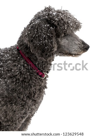Silver Standard Poodle in the Snow