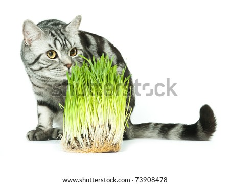 Silver tabby british cat looking at spring grass isolated in the white background