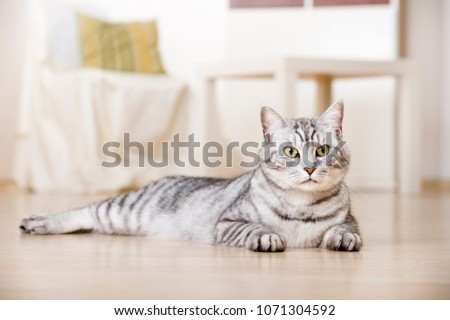 Silver tabby cat in a living room