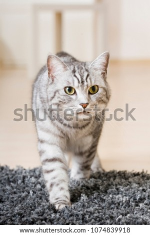 Silver tabby cat in a living room #1074839918