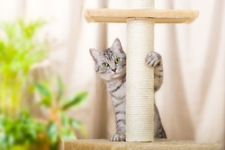 Silver tabby cat with sratching furniture