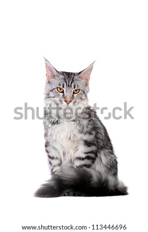 Silver tabby maine coon kitten (5 month) of a white background