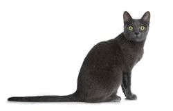 Silver tipped blue adult Korat cat sitting side ways and looking straight at camera with green eyes, isolated on white background