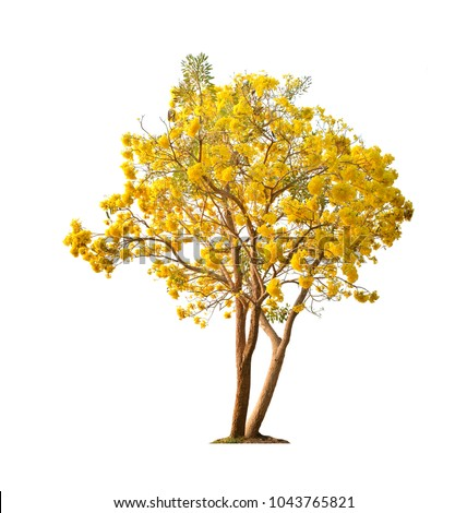 Silver trumpet tree, Tree of gold,Paraguayan silver trumpet tree,Tabebuia aurea #1043765821