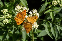 Silver-washed fritillary (Argynnis paphia) couple butterfly