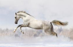 silver-white stallion in snow