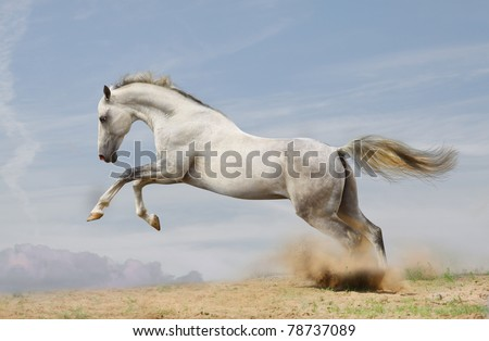 silver-white stallion jumping in dust