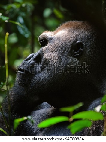 Silverback -  adult male of a gorilla.Western Lowland Gorilla.