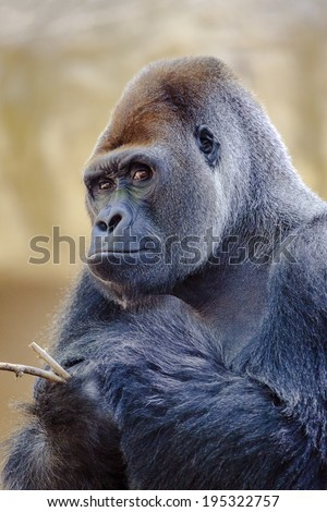 Silverback gorilla. Look carefully at camera with a stick in hand