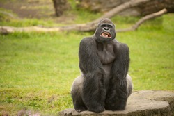 Silverback gorilla making funny face