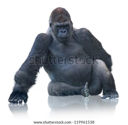 Silverback Gorilla Sitting Isolated On White Background