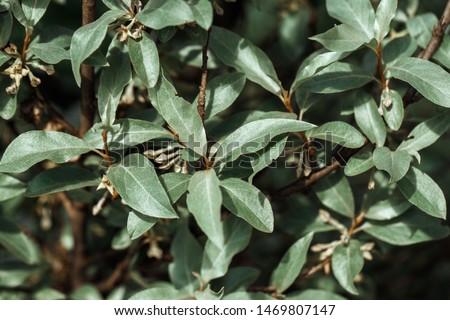 Silverberry, rabbitberry, elaeagnus commutata background. Silver leaves Silverberry closeup. Garden ornamental shrub. Tree with edible fruits. #1469807147