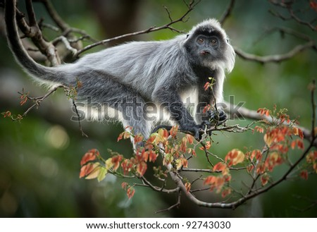 Silvered Langur monkeys