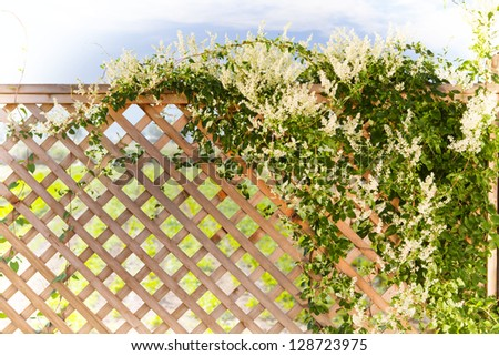 Silverlace vine over a fence, spring garden in the background