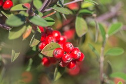Silverleaf cotoneaster (Cotoneaster pannosus) - a species of Cotoneaster