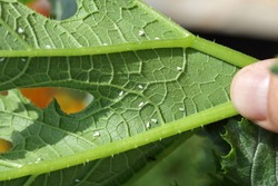 Silverleaf whitefly, Bemisia tabaci (Hemiptera: Aleyrodidae) is an important agricultural pest. Insects on the bottom of zucchini leaf.