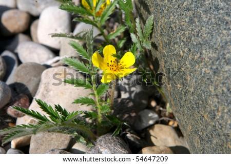 Silverweed - Potentilla anserina
