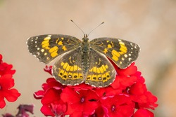 Silvery checkerspot butterfly perched on some red flowers with blurred background