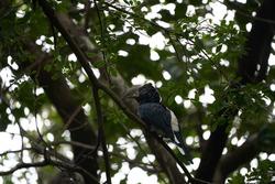 Silvery cheeked hornbill Bycanistes brevis Tanzania Lake Manyara