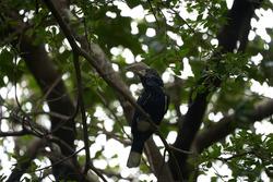 Silvery cheeked hornbill Bycanistes brevis Tanzania Lake Manyara or trumpeter hornbill Bycanistes bucinator